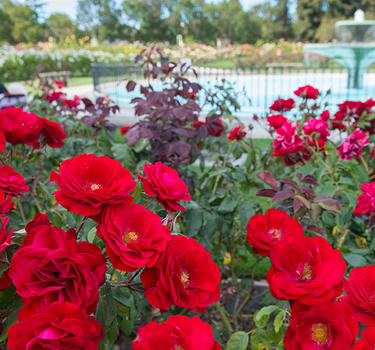 Thousands of roses and hundreds of varietals blooming around the waterfountain in the Municipal Rose Garden