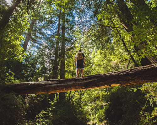 Hiker crossing a log looking up at the massive redwood trees in Big Basin State Park