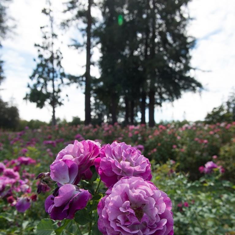 Roses In Garden: Municipal Rose Garden