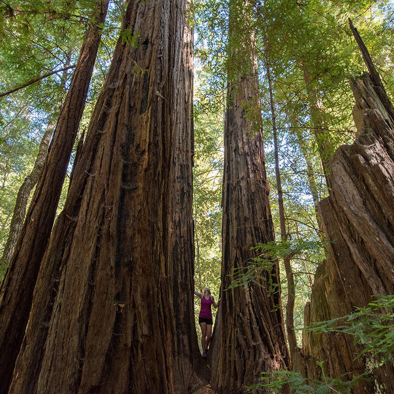 Woman standing between two giant redwoods at Big Basin State Park